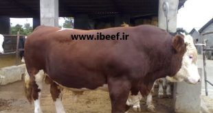 بهترین نژاد گوساله پرواری