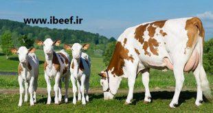 بهترین نژاد گوساله گوشتی