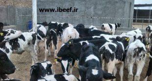 فروش گوساله نر