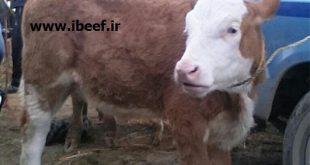 خرید گوساله سمینتال