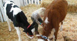 خرید گوساله نر
