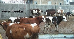 خرید گوساله گوشتی