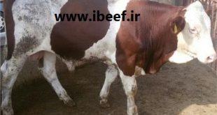 فروش گوساله گوشتی سمینتال
