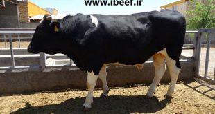 فروش گوساله گوشتی