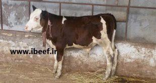قیمت خرید گوساله پرواری
