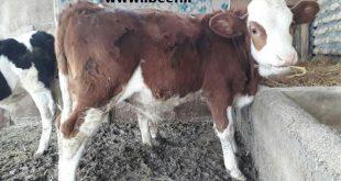 قیمت فروش گوساله سمینتال