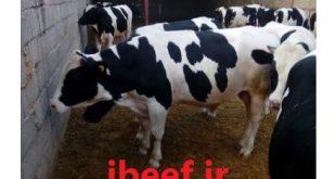 قیمت گوساله تهران