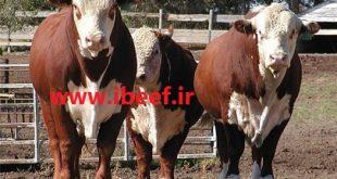 قیمت گوساله سمینتال