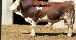 قیمت گوساله گوشتی