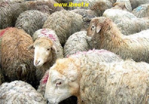 گوشت گوسفندی زنده