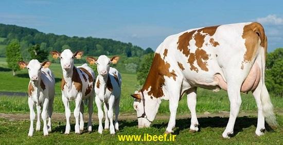 گوساله ماده در نژاد های مختلف در کجا خرید و فروش می شود؟ قیمت خرید و فروش گوساله نر و ماده در استان های مختلف، چقدر است؟