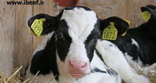 خرید و فروش گوساله