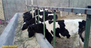 فروش گوساله زنده