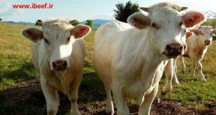 فروش گوساله شاروله