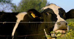 فروش گوساله ماده
