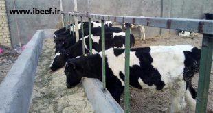 گوساله نر پرواری