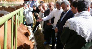 فروش گوساله نژاد سمینتال