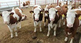 قیمت روز گوسفند و گوساله زنده 97