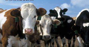 قیمت گوساله دورگ