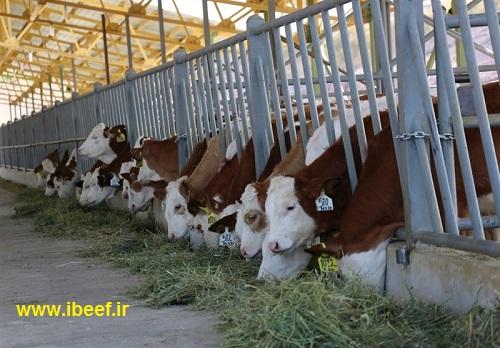گوساله زنده 97 - قیمت روز گوسفند و گوساله زنده 97