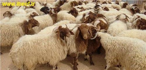 گوسفند زنده 97 - قیمت روز گوسفند و گوساله زنده 97