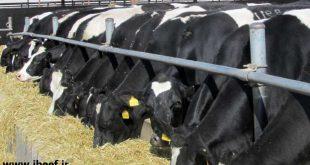 پرواربندی گوساله دورگ