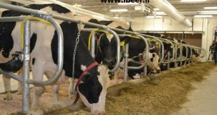 پرواربندی گوساله صنعتی