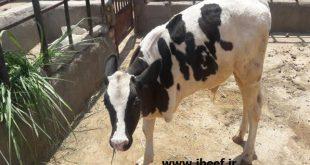 پرواربندی گوساله ماده