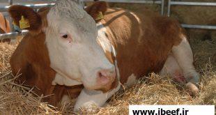 پرواربندی گوساله گوشتی