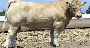 گوساله نژاد شاروله