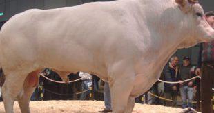 گوساله نژاد گوشتی