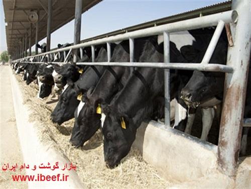 آخرین قیمت گوساله