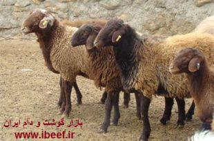 آخرین قیمت گوسفنده زنده 97