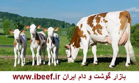 فروش گوساله پرواری