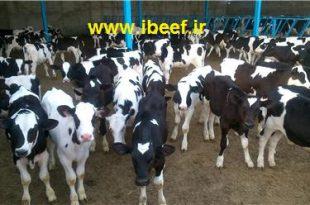 قیمت گوساله پرواری زنده