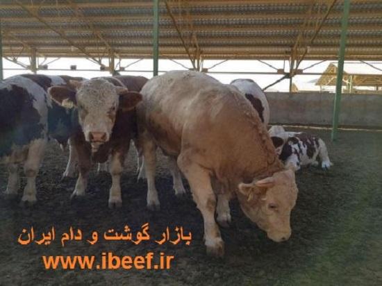 گوساله پرواری زنده