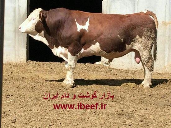 قیمت گوساله پرواری