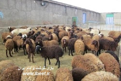گوسفنده زنده 97