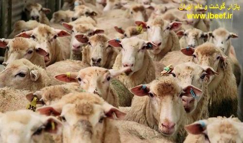 فروش گوسفنده زنده