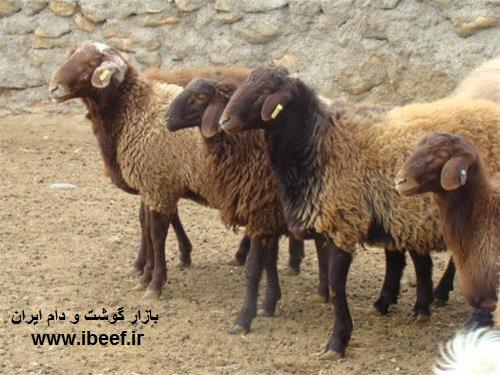 گوسفنده زنده امروز 1 - قیمت گوسفنده زنده امروز 97