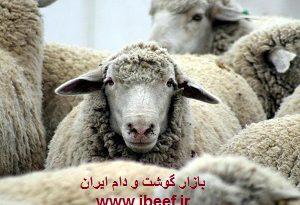 قیمت گوسفنده زنده امروز