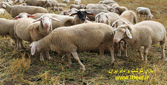 گوسفنده زنده - قیمت گوسفنده زنده امروز 97