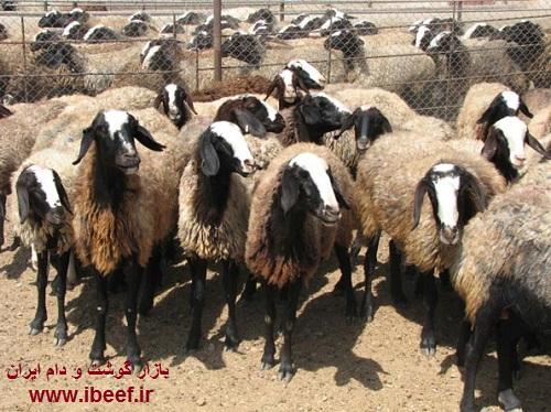زنده 97 - قیمت گوسفنده زنده امروز 97